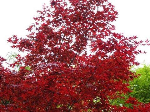 新緑の季節にみごとな紅葉