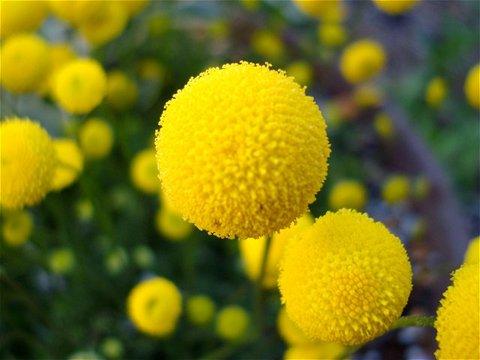 マリモのような黄色い花